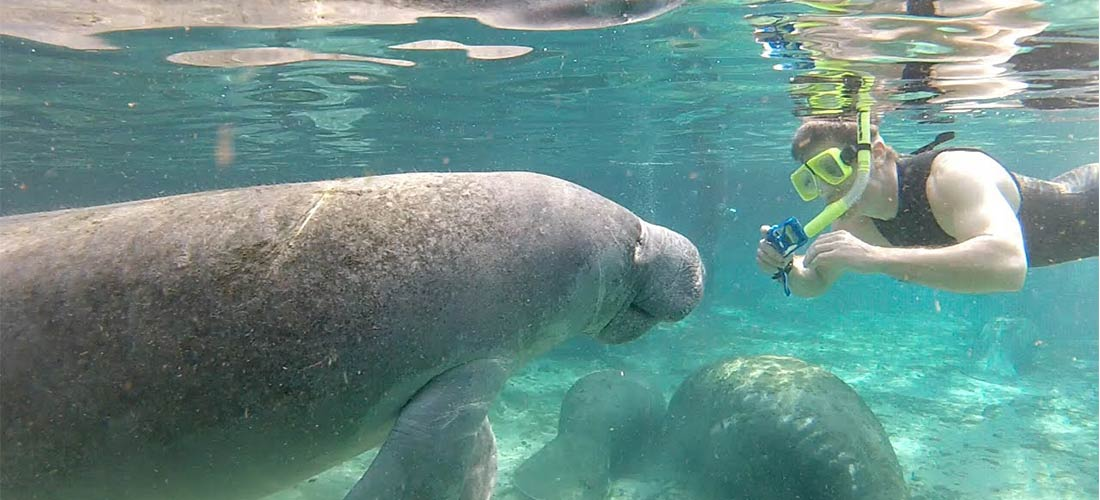taking picture of manatee
