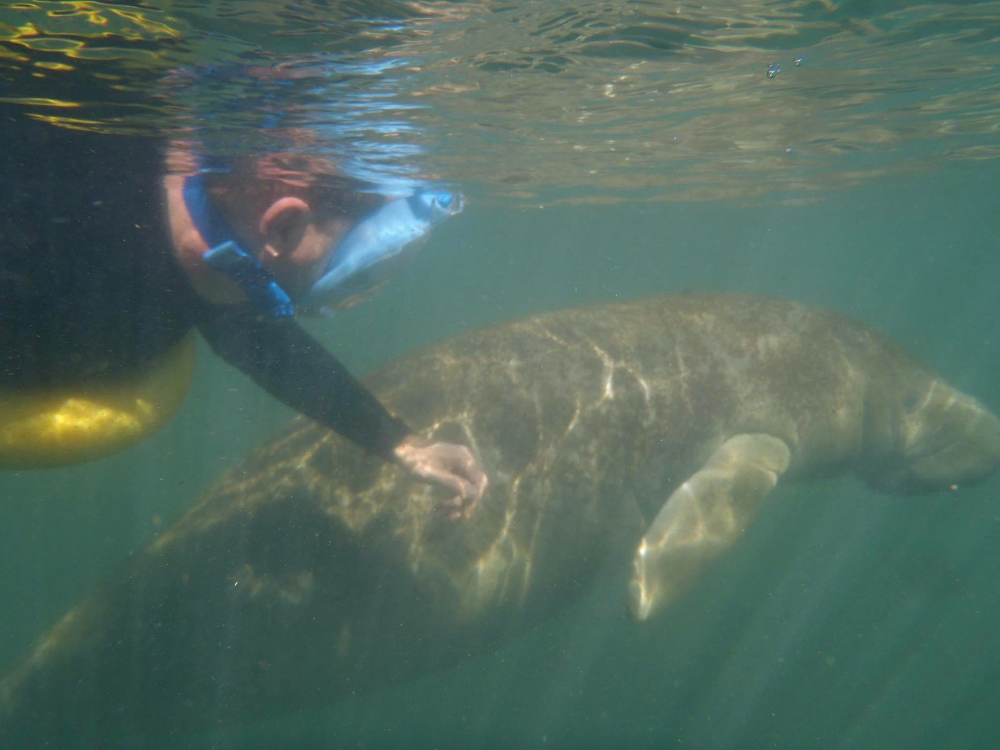 swimming beside a manatee