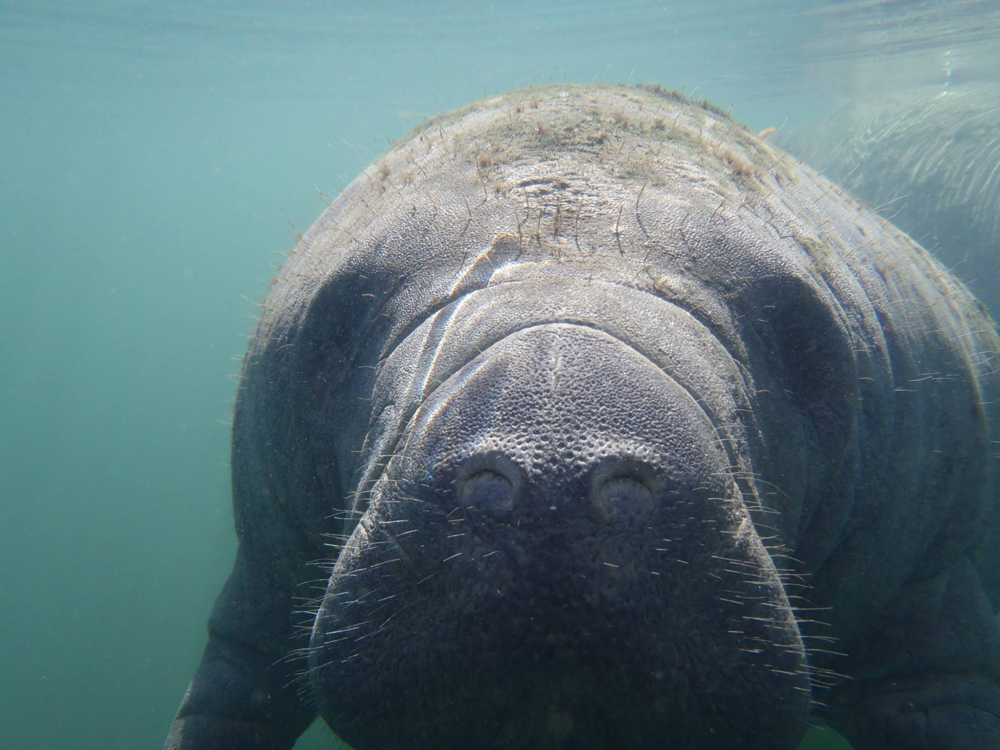 manatee swimming up to diver